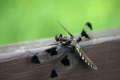Dragon Fly. Big brown dragon fly resting on a wooden bench Stock Image