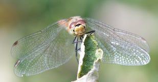 Dragon fly. Photo of a dragon fly (macro Stock Photography