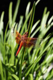 Dragon Fly. Photgenic dragon fly posing on a leaf Stock Photography