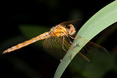 Dragon fly. A shot of Dragon fly on black Background Royalty Free Stock Images