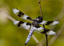 Free Dragon Fly Stock Photography - 12864682