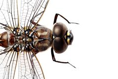 Dragon fly. Isolated macro of a dragon fly on white background stock photos