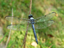 Dragon Fly. Close-up of a Dragon Fly on a branch royalty free stock photo