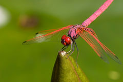 Dragon Fly. Red Dragonfly Stock Image