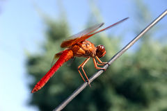 Dragon Fly. A dragon fly on a wire stock photo