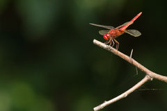 Free Dragon Fly Stock Images - 21507824