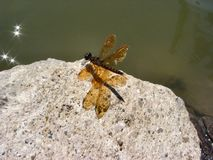 Dragon Fly Image libre de droits