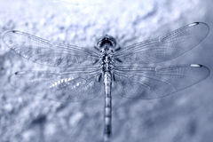 Dragon fly. DragonFly resting on a stone Stock Photos