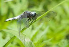 Dragon-fly Royalty Free Stock Photography