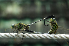 Dragon Fly. Dragon flies couple intimacy time Royalty Free Stock Photos