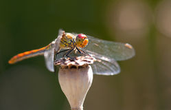 Free Dragon Fly Royalty Free Stock Images - 29718709