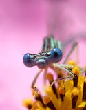 Dragon fly ...(3). Here is a dragon fly on a flower Royalty Free Stock Images