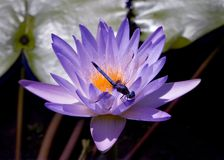 Dragon Fly. Resting on Lotus flower - botanical garden Royalty Free Stock Images