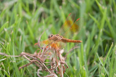 Dragon Fly Fotografia de Stock Royalty Free