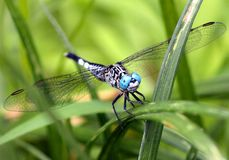 Dragon Fly Stockfoto
