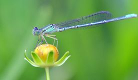 Free Dragon Fly Stock Photography - 42433382