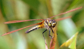 Dragon Fly Photo libre de droits