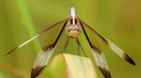 Dragon Fly Image stock