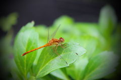 Dragon Fly Fotos de Stock Royalty Free