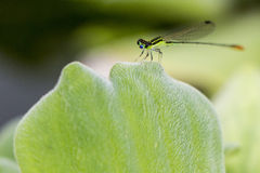 Dragon Fly Foto de Stock
