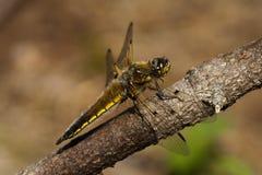 Dragon Fly Immagini Stock