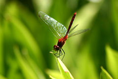 Dragon-fly. Red dragon-fly on a leaf with green background stock photos