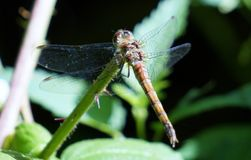 Dragon Fly Royaltyfri Foto