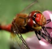 Dragon fly ...(5) Stock Image