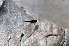 Dragon Fly Stockbild