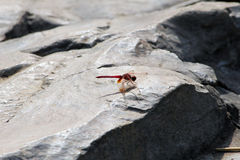 Dragon Fly Stock Foto