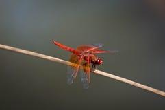 Dragon Fly Royaltyfria Bilder
