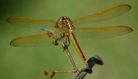 Dragon Fly Fotos de Stock Royalty Free