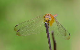 Dragon Fly Photographie stock libre de droits