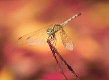 Dragon Fly Lizenzfreie Stockbilder