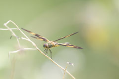 Dragon Fly Fotografia de Stock Royalty Free