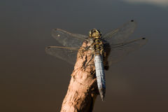Dragon-fly Royalty Free Stock Photos