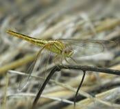 Dragon Fly Foto de archivo libre de regalías