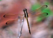 Dragon Fly Imágenes de archivo libres de regalías