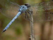 Dragon Fly Arkivfoton