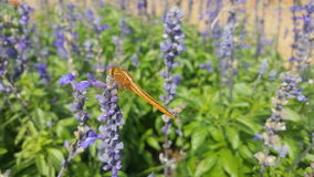 Dragon Fly fotografie stock