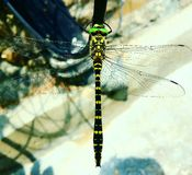 Dragon Fly Stock Foto's