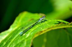Dragon Fly royalty-vrije stock fotografie