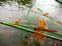 Dragon Fly Photos stock