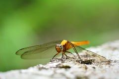 Dragon Fly Stock Image