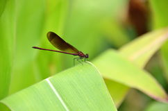 Dragon-fly. 