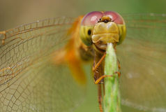 Dragon fly action. Adult dragonflies are ready to hunt. Its eyes look small insects. Flying through Stylish and eaten quickly Stock Photography
