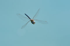 Dragon fly against blue sky Royalty Free Stock Photos