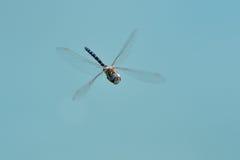Dragon fly against blue sky. Hairy dragonfly in flight against blue sky Royalty Free Stock Photos
