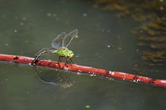 Dragon fly (Anax imperator). Closeup shot of a dragon fly on the water Royalty Free Stock Image