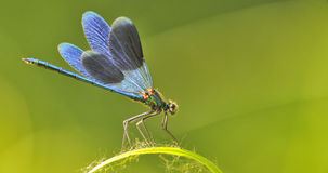 Dragon fly on a blade of grass Royalty Free Stock Image